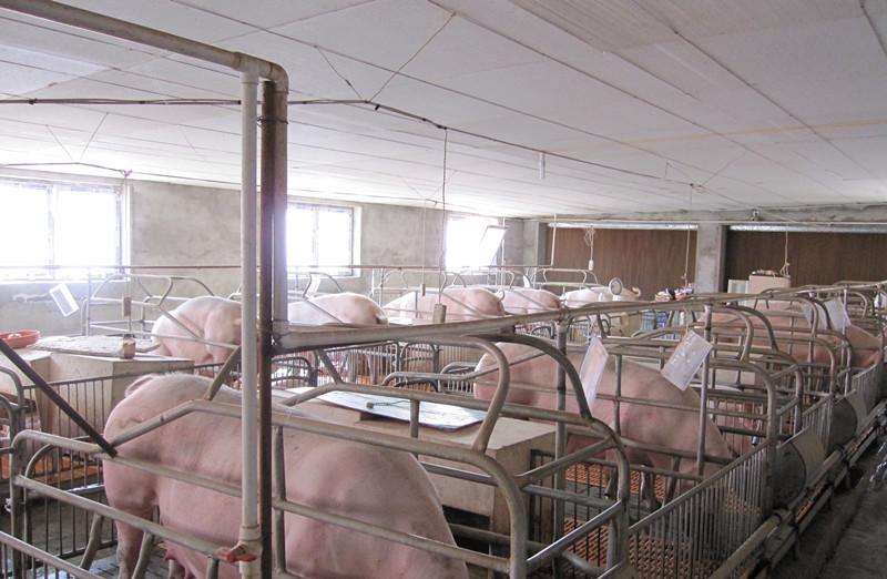 母猪2.jpg